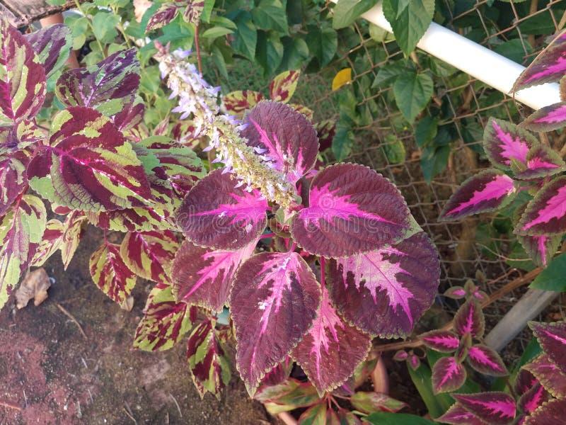 Pianta tropicale con le foglie porpora a Puerto Rico immagini stock