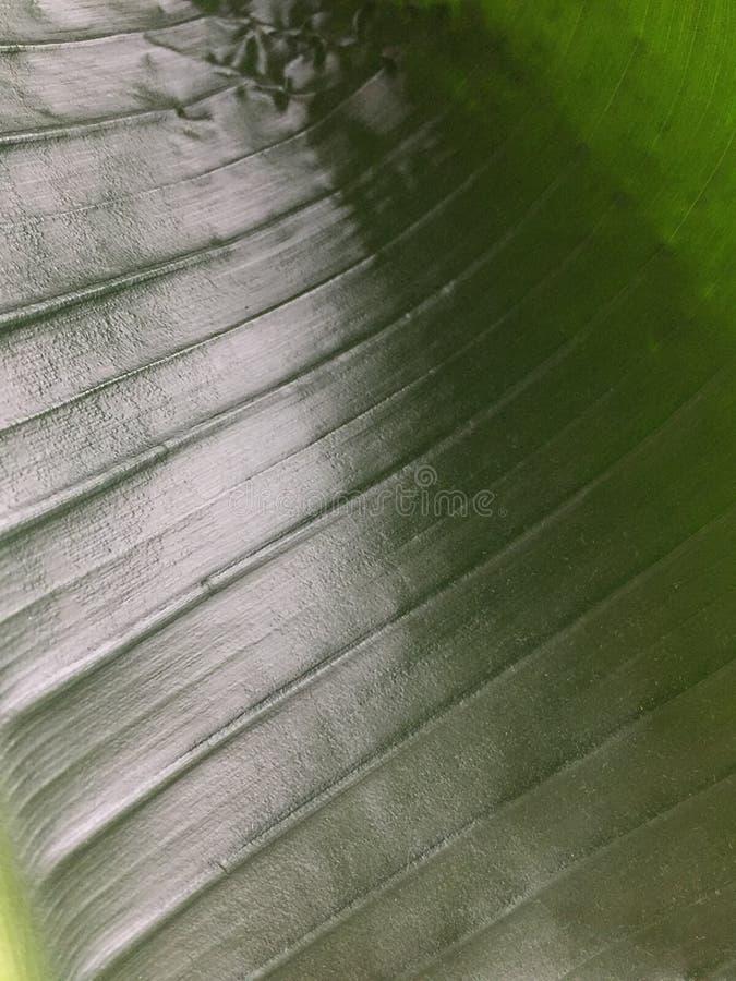 Pianta tropicale della foglia verde fotografia stock libera da diritti