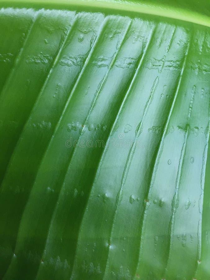 Pianta tropicale della foglia verde immagini stock libere da diritti
