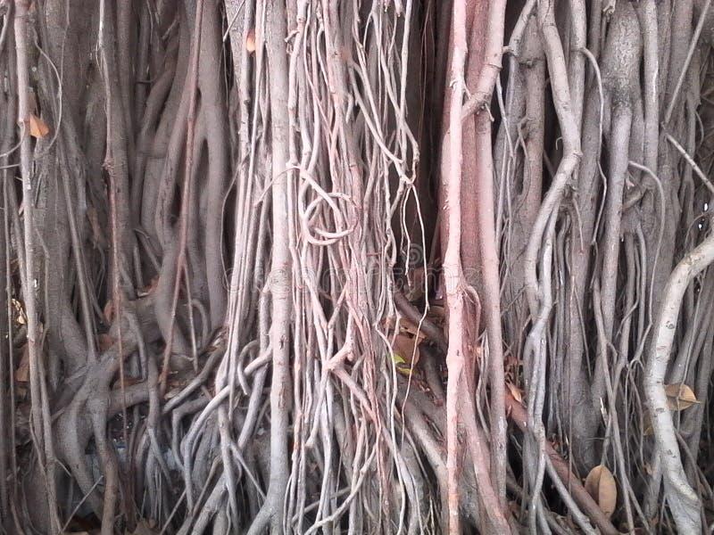 Pianta tropicale della natura gigante della radice immagine stock