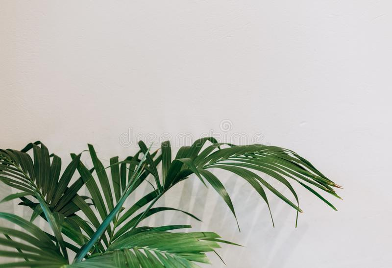 Pianta tropicale di struttura della palma delle grandi foglie fotografia stock libera da diritti