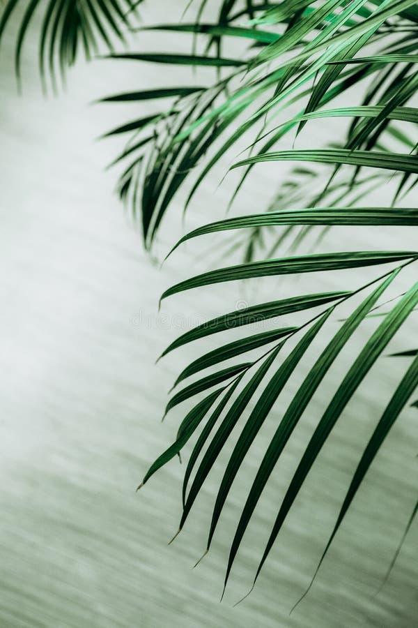 pianta tropicale di struttura della palma delle grandi foglie immagini stock libere da diritti