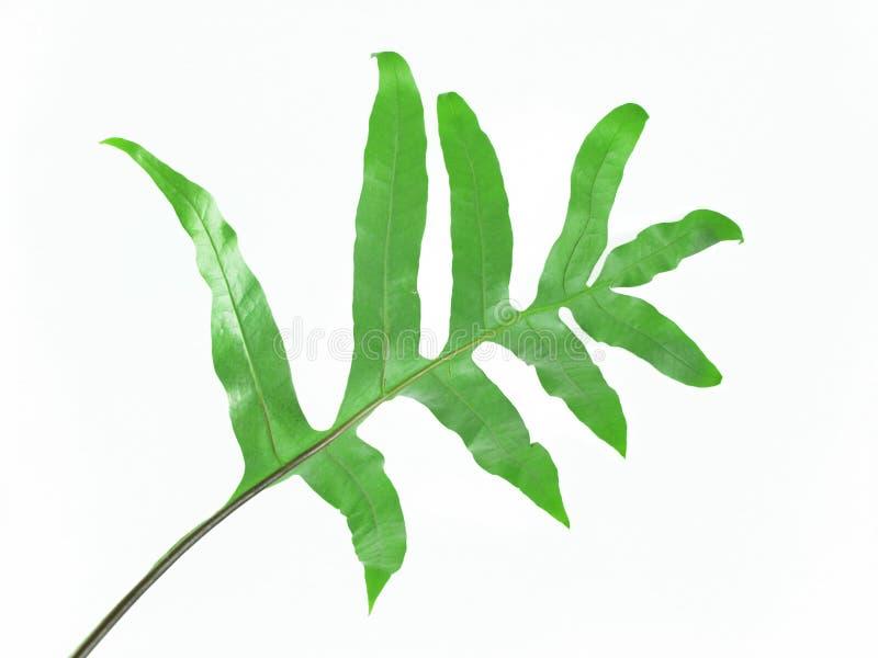 Pianta tropicale, foglia verde su fondo bianco fotografia stock libera da diritti