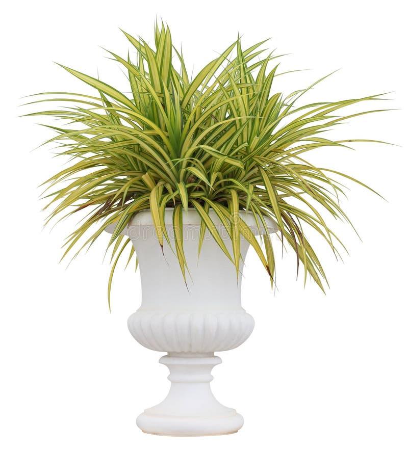 Pianta variegata del pandanus dell'erba in contenitore bianco del vaso dell'urna isolato su fondo bianco per il giardino europeo  fotografie stock