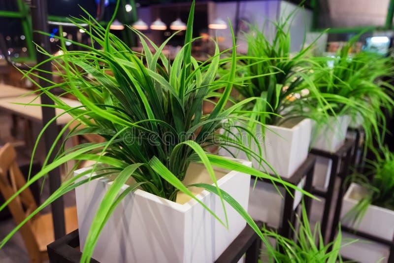 Pianta in vaso della pianta Ufficio o pianta verde domestica fotografia stock