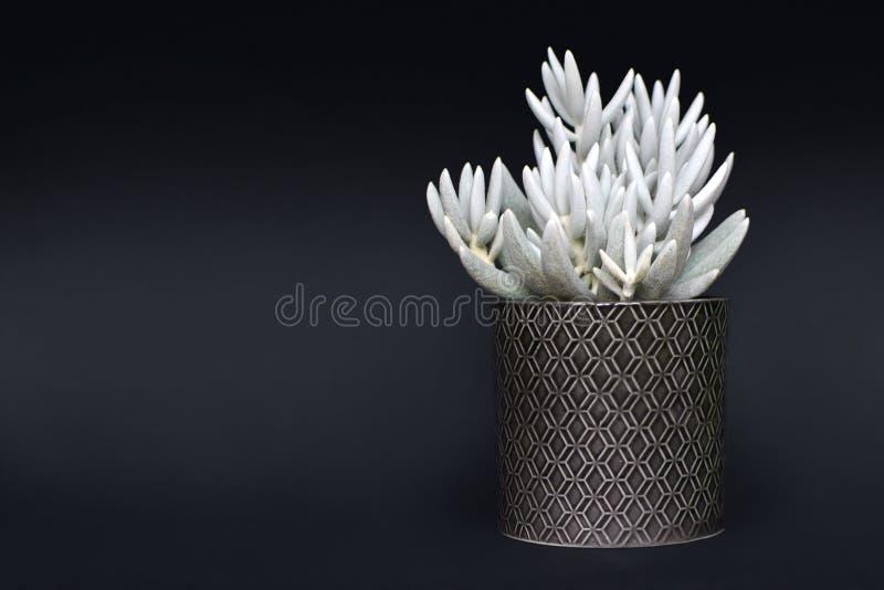 Pianta in vaso succulente di Haworthii del senecio bianco su fondo scuro fotografia stock