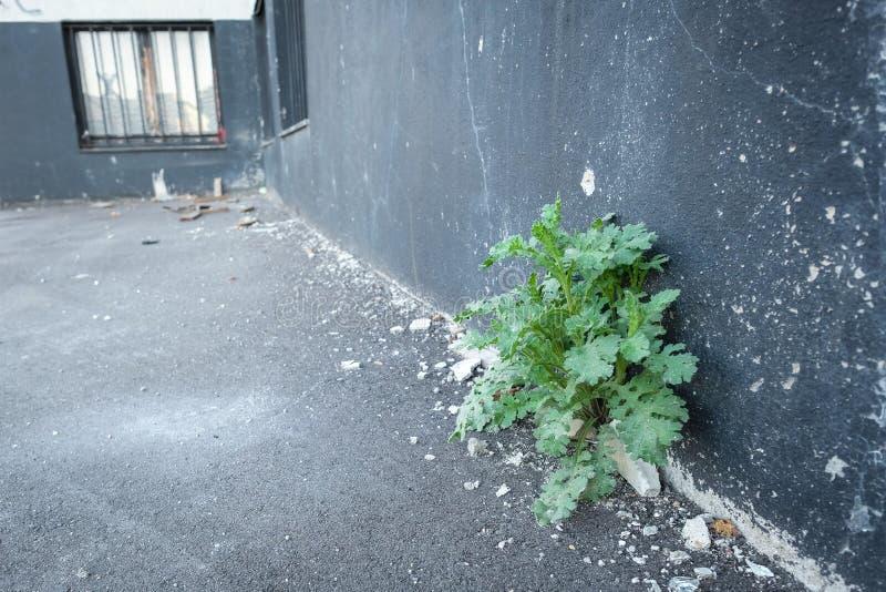 Pianta verde ad una costruzione sgangherata con il gesso scheggiato fotografia stock