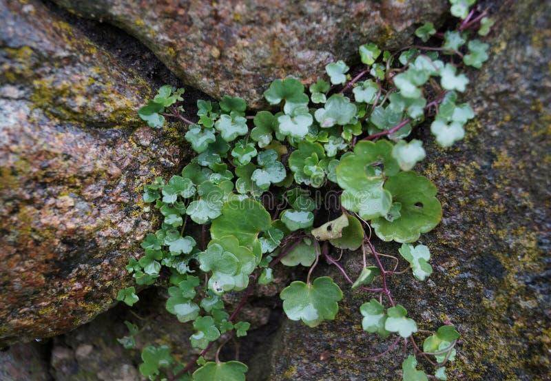 Pianta verde che cresce sulla pietra immagini stock