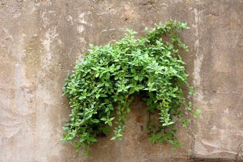 Pianta verde chiaro del cingolo che cresce dalla piccola apertura sulla parete sbiadita dilapidata incrinata di costruzione concr immagini stock