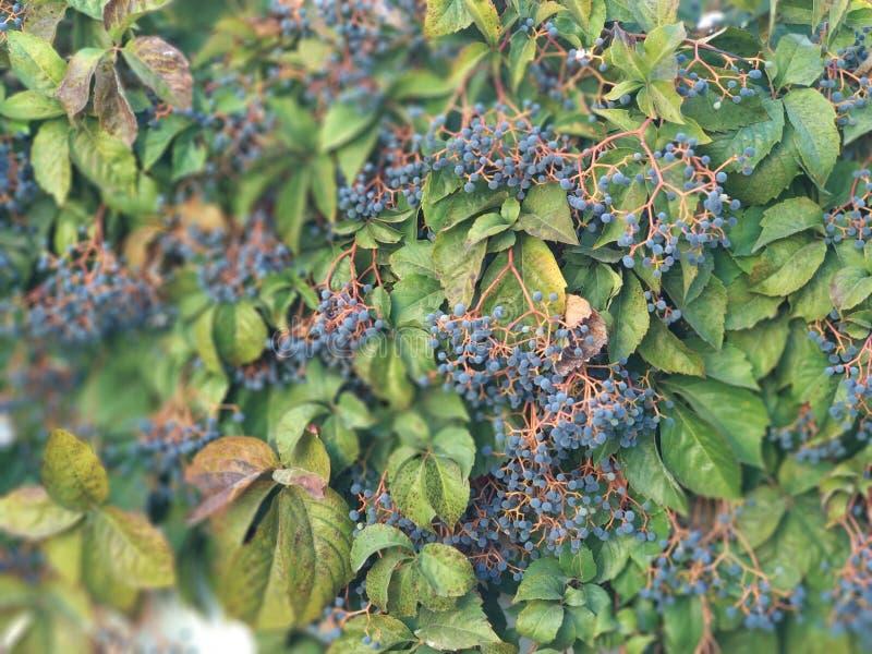 Pianta verde con le bacche blu fotografia stock