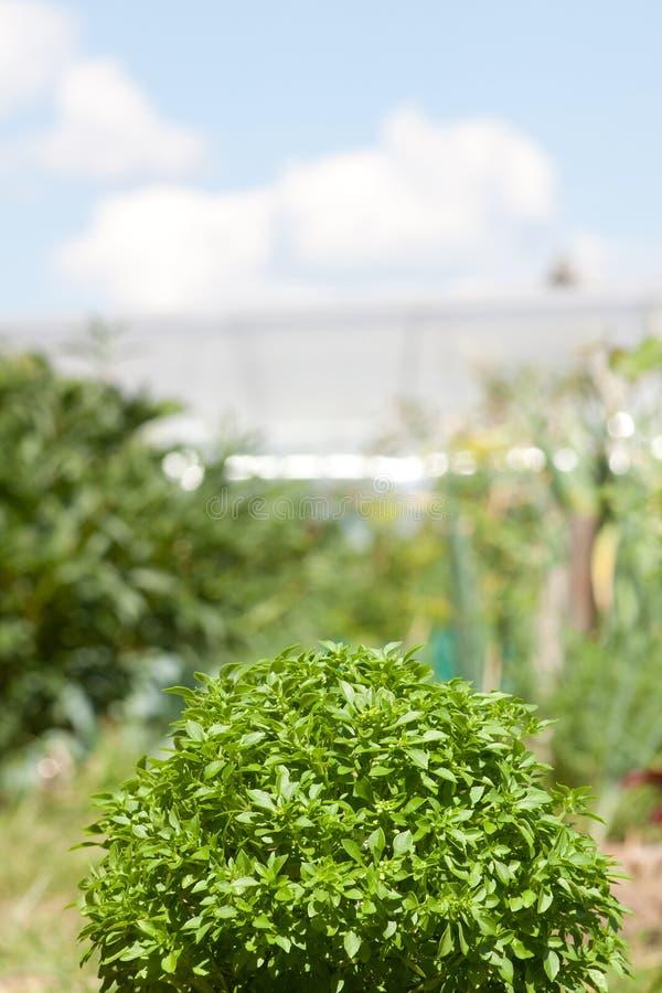 Pianta verde del basilico immagine stock