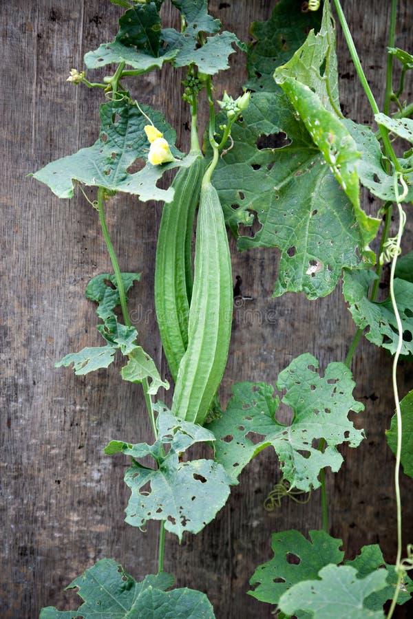Pianta verde del Loofah sulla parete in giardino immagini stock libere da diritti