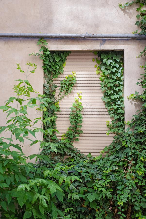 Pianta verde del rampicante che copre la parete incrinata dello stucco fotografie stock
