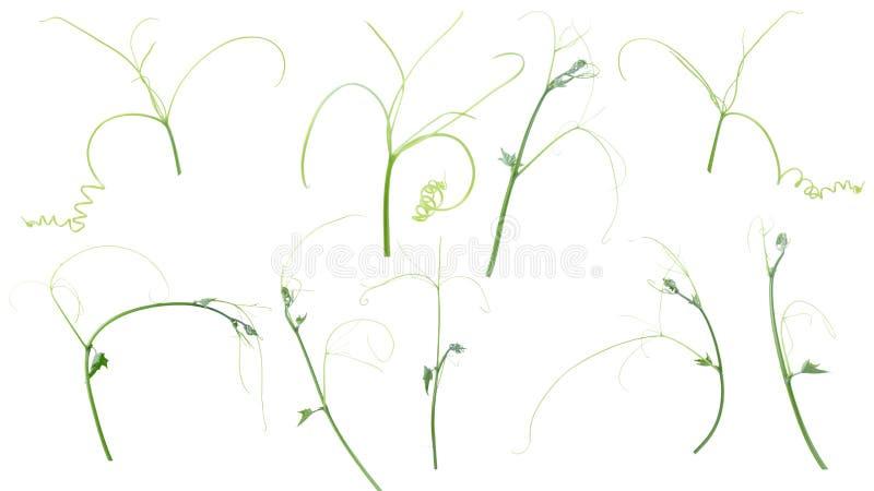 Pianta verde dell'edera isolata su fondo grigio, percorso di ritaglio fotografia stock libera da diritti