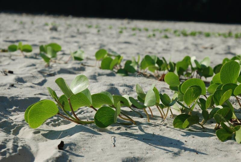 Pianta verde frondosa nella sabbia fotografia stock