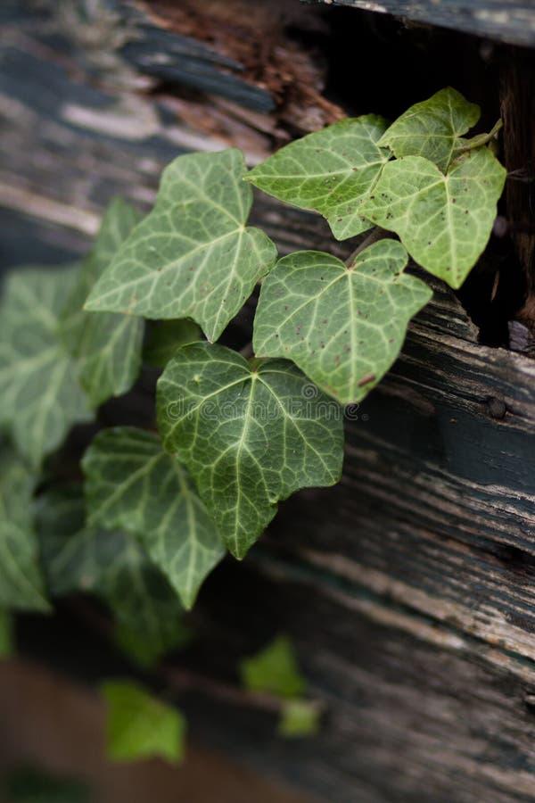 Pianta verde piacevole su legno immagini stock