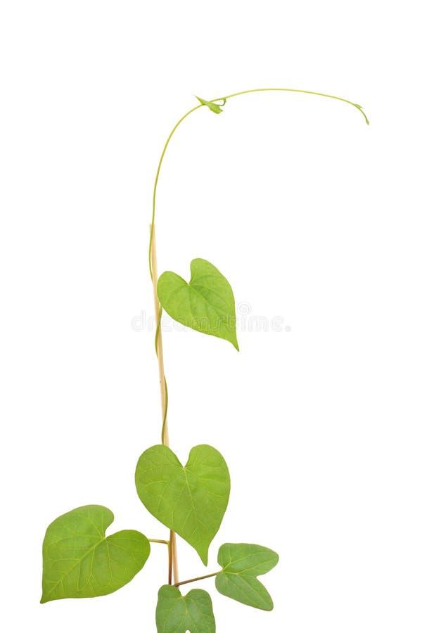 Pianta verde rampicante fotografia stock libera da diritti