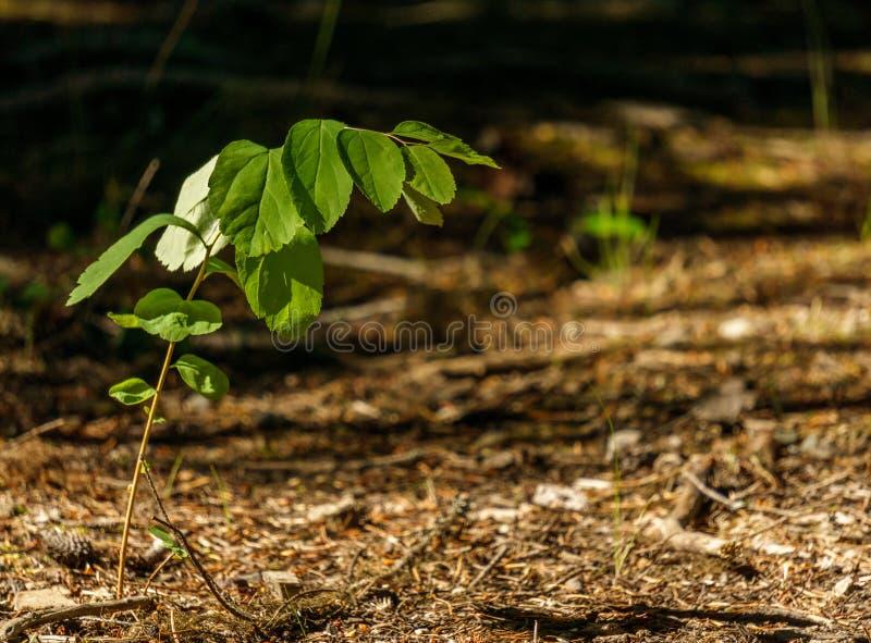 Pianta verde sola che cresce nella foresta nell'ambito della luce solare immagini stock
