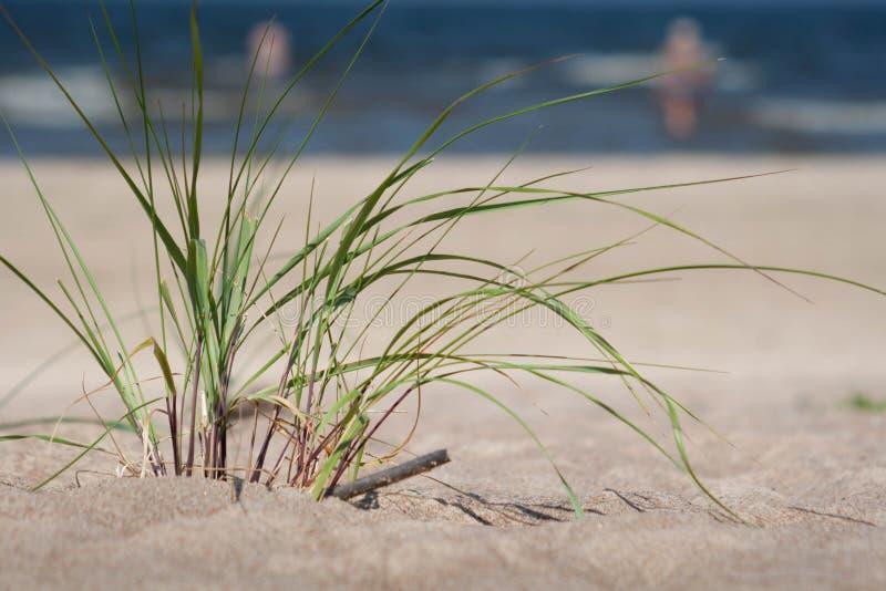 Pianta verde sulla sabbia della spiaggia con il mare nel fondo fotografie stock libere da diritti