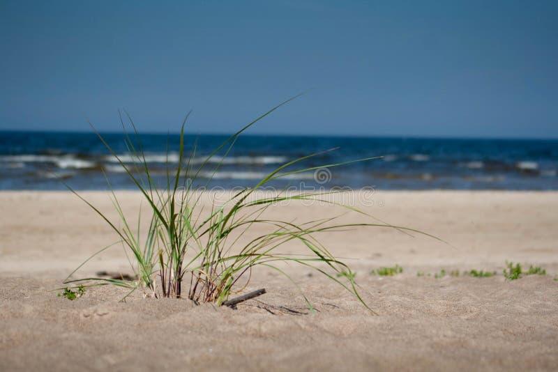 Pianta verde sulla sabbia della spiaggia con il mare nel fondo immagini stock