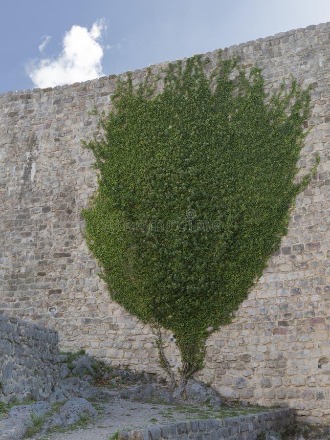 Pianta verde sulla vecchia parete fotografia stock