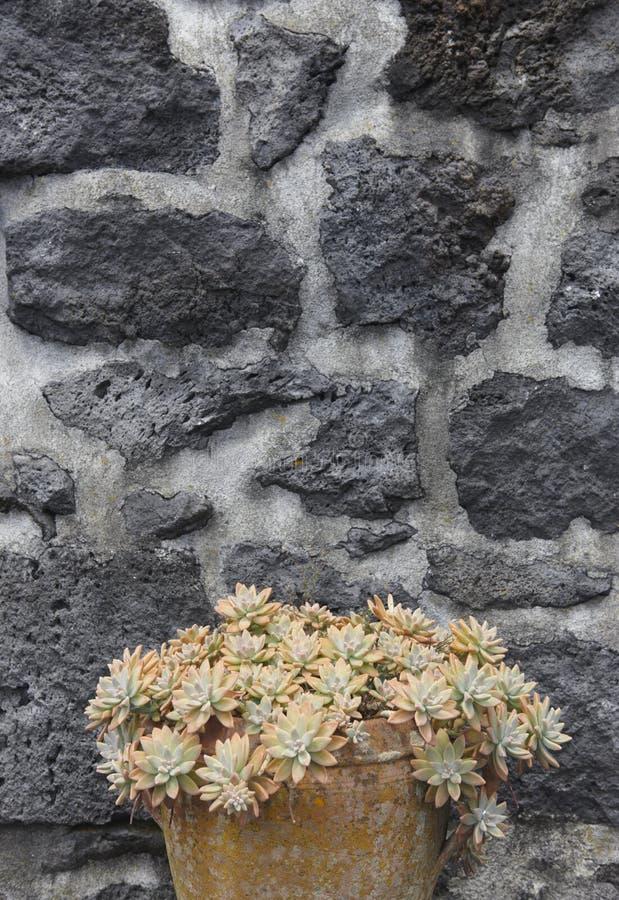 Pianta verde in un vaso ceramico ed in una facciata di pietra vulcanica fotografia stock