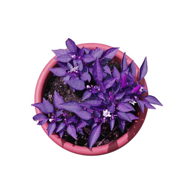 Pianta viola isolata del peperoncino rosso fotografia for Acquisto piante peperoncino