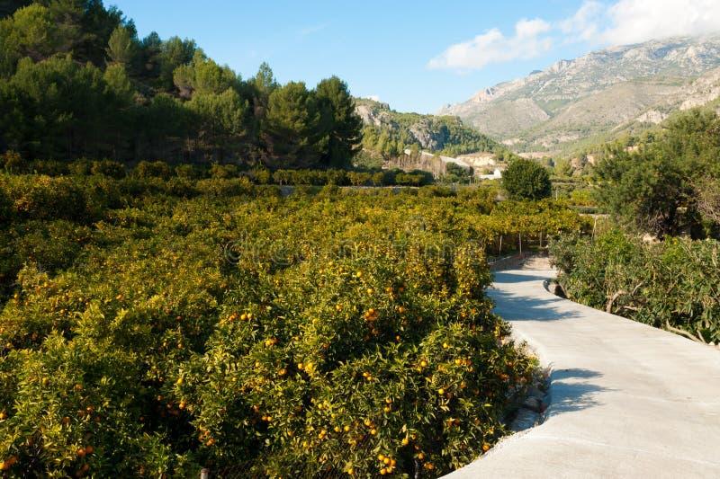 Piantagione arancione immagine stock