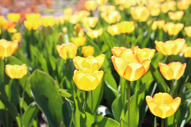 Piantagione dei tulipani gialli Fiori di fioritura Piovuto appena sopra immagini stock libere da diritti