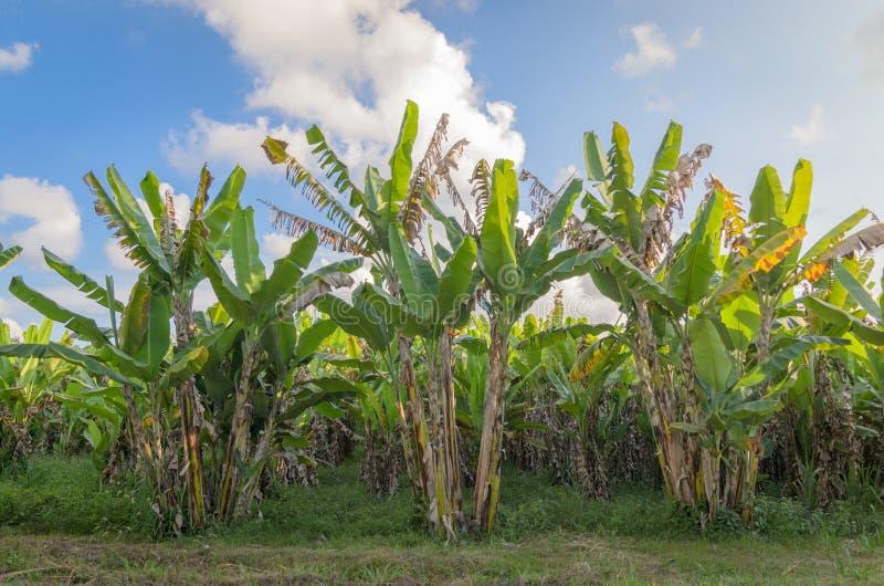 Piantagione del banano con luce del giorno fotografia stock libera da diritti