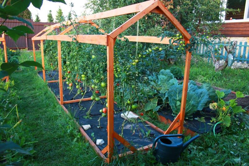 Piantagione del pomodoro svilupparsi in giardino sui pomodori nostrani del pacciame del nero dell'azienda agricola coltivati nel  fotografie stock libere da diritti