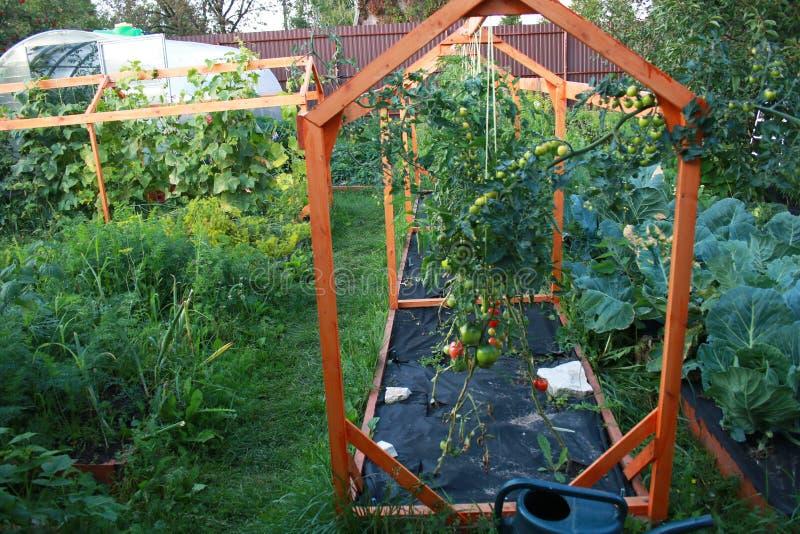 Piantagione del pomodoro svilupparsi in giardino sui pomodori nostrani del pacciame del nero dell'azienda agricola coltivati nel  immagine stock libera da diritti