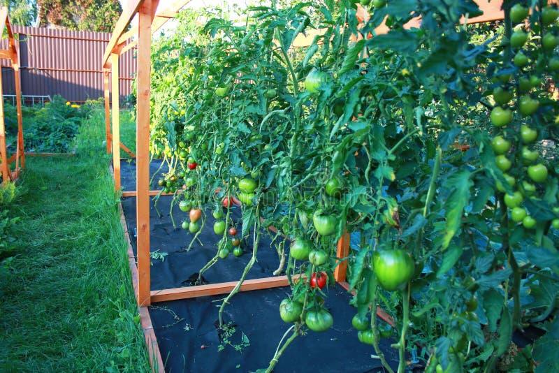 Piantagione del pomodoro svilupparsi in giardino sui pomodori nostrani del raccolto del pacciame del nero dell'azienda agricola c fotografie stock libere da diritti