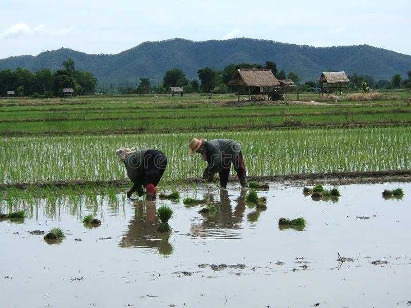 Piantagione del riso in Asia immagine stock libera da diritti