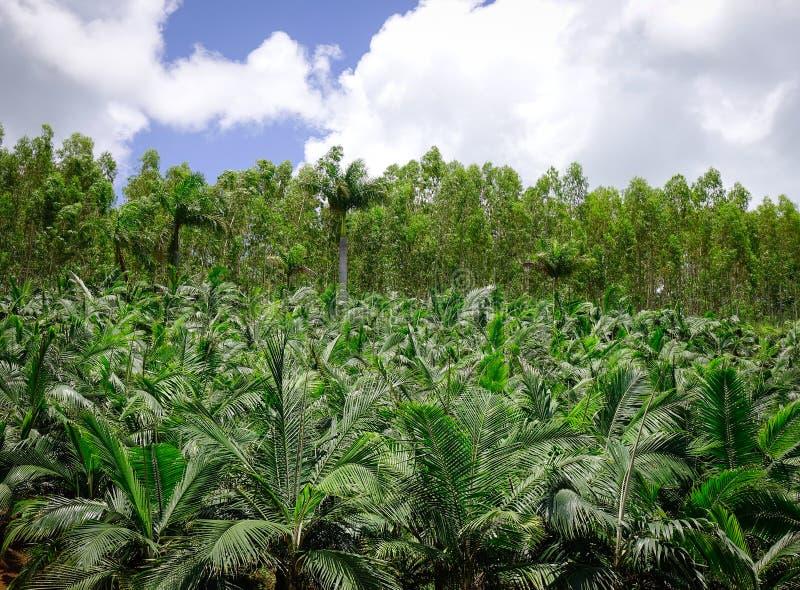 Piantagione dell'albero del cocco fotografia stock libera da diritti