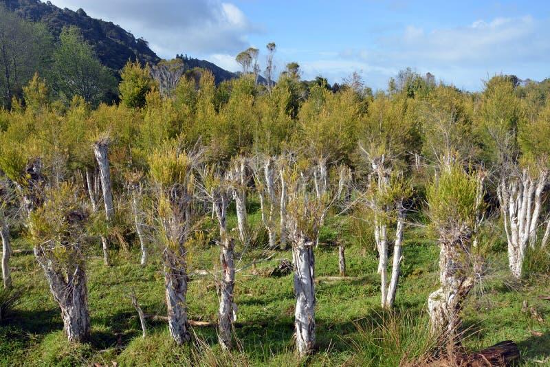 Piantagione dell'albero del tè a Karamea, Nuova Zelanda fotografia stock libera da diritti