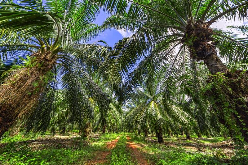 Piantagione dell'albero dell'olio di palma fotografia stock
