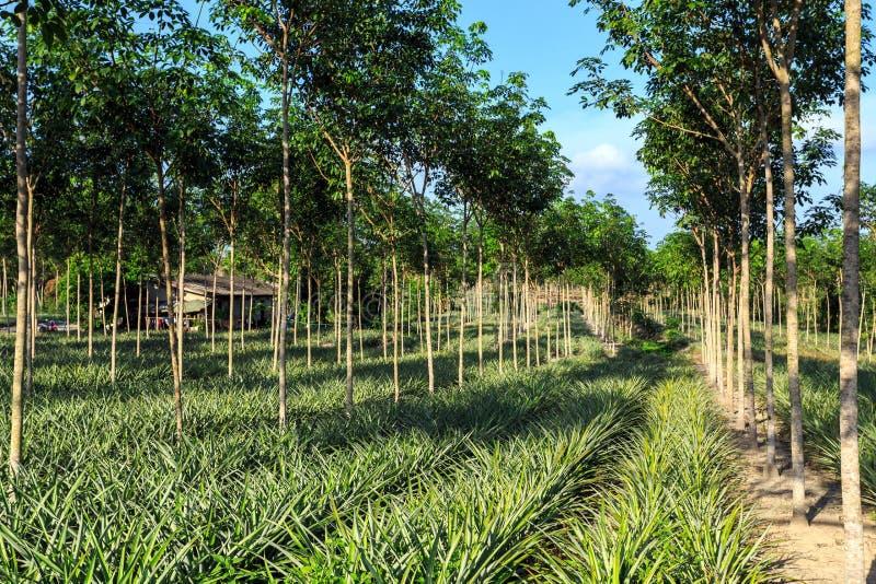 Piantagione dell 39 ananas e dell 39 albero di gomma immagine for Albero di ananas