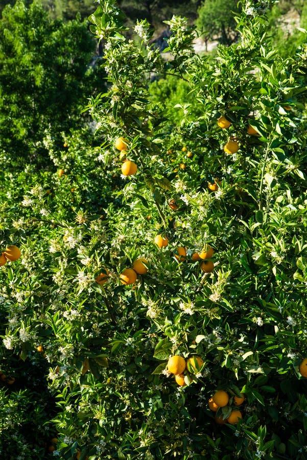 Piantagione dell'arancio fotografia stock