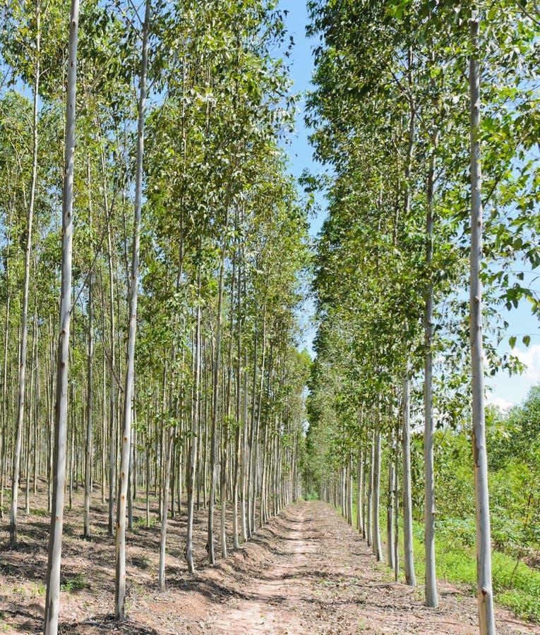 Piantagione dell'eucalyptus fotografia stock