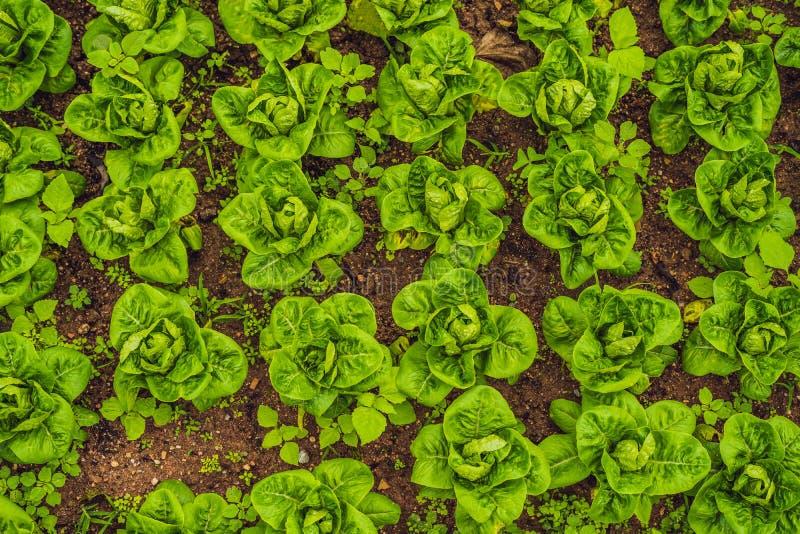 Piantagione dell'insalata della lattuga di Butterhead, prateria di verdure organica verde fotografia stock