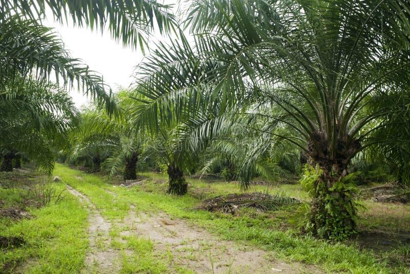 Piantagione dell'olio di palma fotografie stock libere da diritti