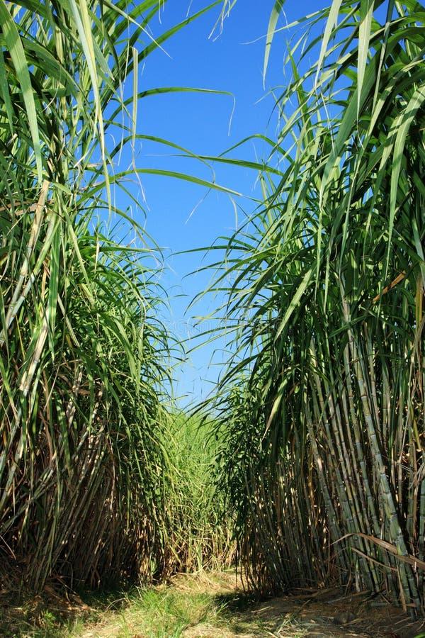 Piantagione della canna da zucchero immagini stock