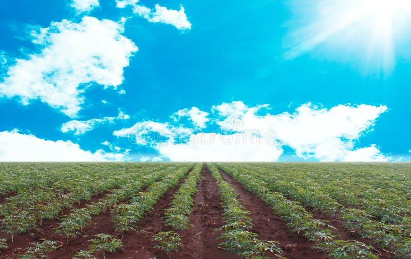 Piantagione della manioca con il fondo del cielo blu fotografie stock libere da diritti