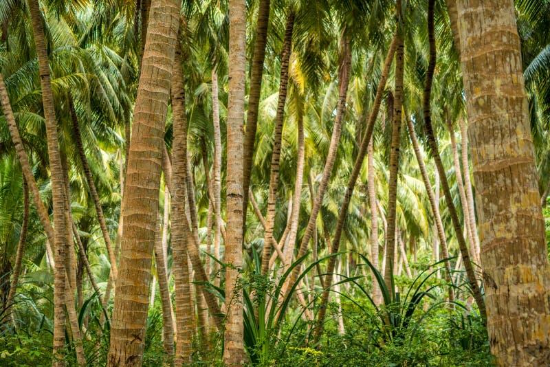 Piantagione della noce di cocco fotografia stock