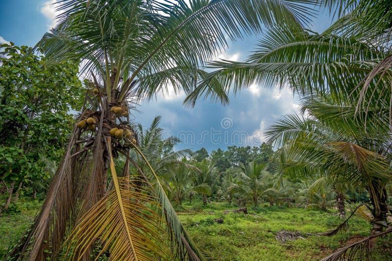 Piantagione della noce di cocco in Asia fotografia stock