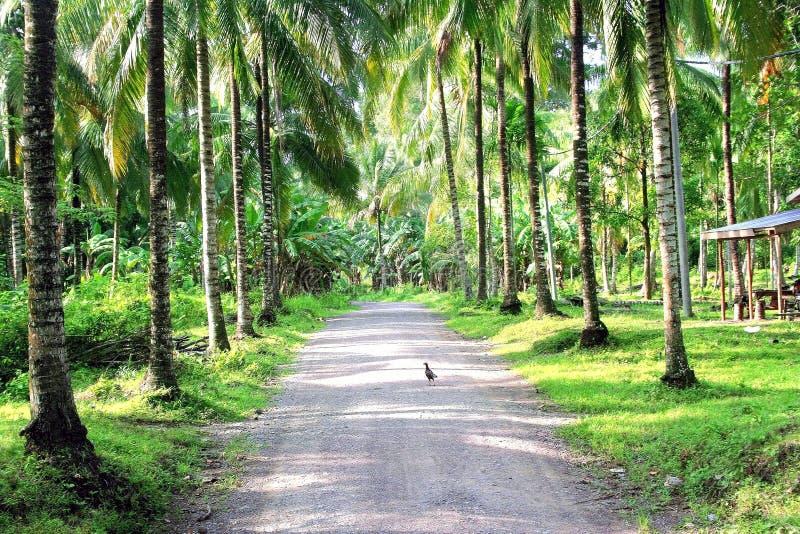 Piantagione della noce di cocco lungo la campagna del bordo della strada fotografie stock