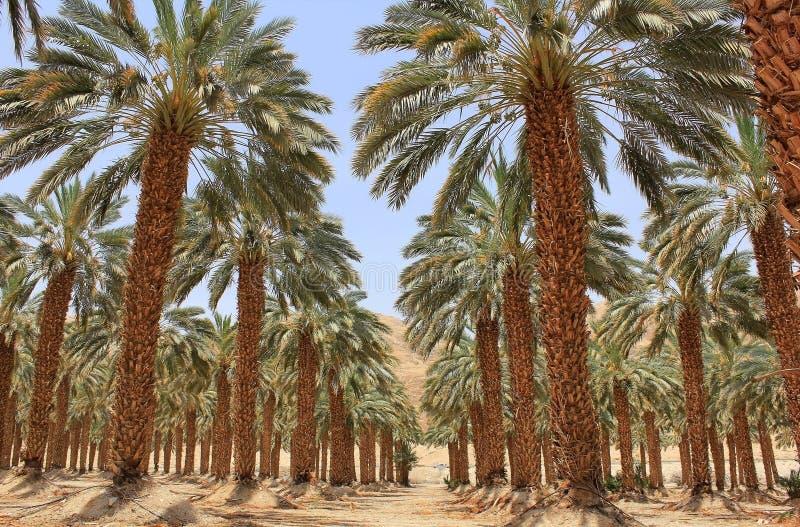 Piantagione della palma da datteri ai kibbutz Ein Gedi, Israele fotografia stock