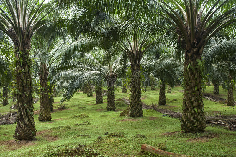 Piantagione della palma da olio immagini stock