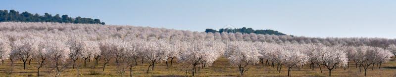 piantagione di abbondanza dei mandorli dei fiori bianchi in un giorno di molla con un cielo blu immagine stock